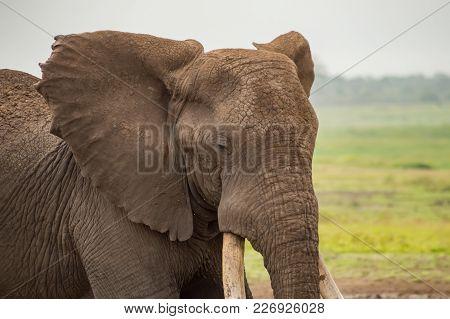 Elephant With Ears Forward In The Savannah Of Amboseli Park In Kenya