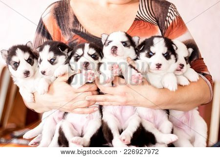 Six Puppies Siberian Husky. Litter Dogs In The Hands Of The Breeder. Little Puppies.