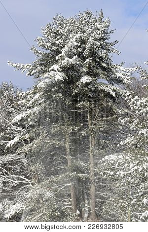 Tall Snow Covered Hemlock Trees With Blue Sky In The Background.