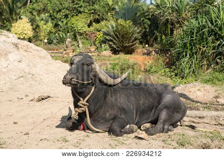 Big Black Cow Lying On The Ground India
