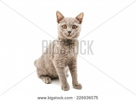 Gray Cat Shorthair Isolated On White Background