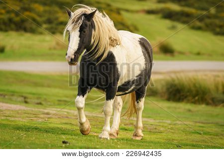 A Wild Horse Near Hay Bluff And Twmpa In The Black Mountains, Powys, Wales, Uk