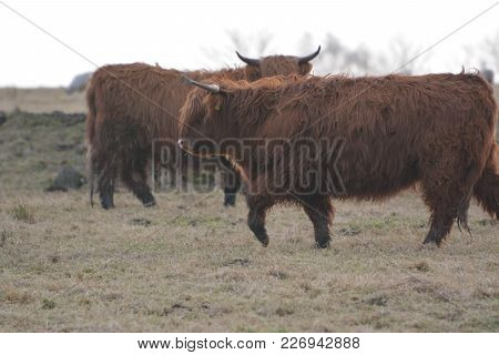 Highland Cattle Taken From The Home Of Where They Came From, Scotland