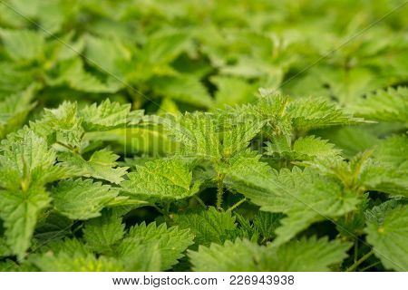 Stinging Nettles, Seen In Lower Halstow, Kent, England, Uk