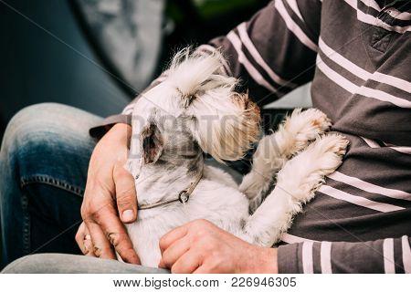 Small Miniature Schnauzer Dog Zwergschnauzer Sitting In Hands Of Man.