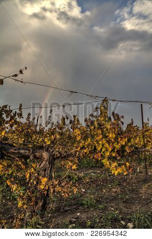 Autumn Colors Grapes Vine Growing In A Field In Israel, In Front Of A Beautiful Rainbow In A Cloudy