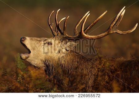 Red Deer Stag Bellowing During The Rutting Season In Autumn, Uk.
