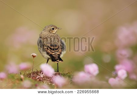 Juvenile Northern Wheatear In The Field Of Thrift, Summer In Uk.
