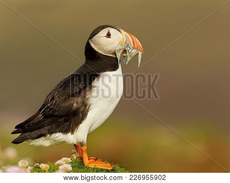 Close Up Of Atlantic Puffin With The Beak Full Of Sand Eels, Uk.