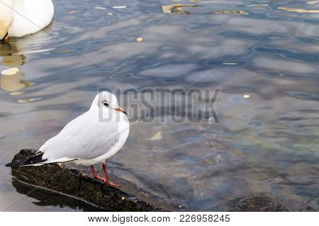 Seagull Stands On A Stone In The Vltava River In Prague.