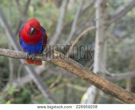 Close Up Exotic Red Blue Parrot Agapornis Parakeet Sitting On The Tree Branch