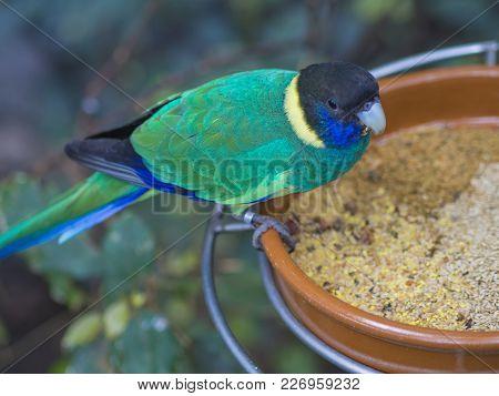 Close Up Exotic Colorful Black Blue Green Parrot Australian Ringneck Lorikeet Eating Feeding From Bo