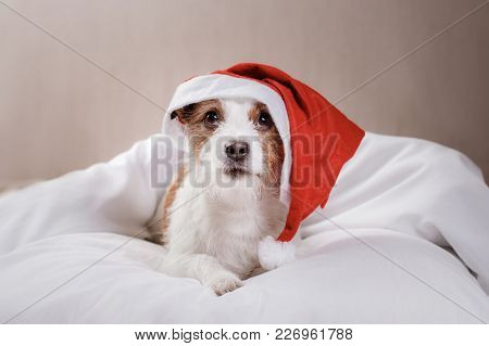 Dog In Bed. Jack Russell Terrier