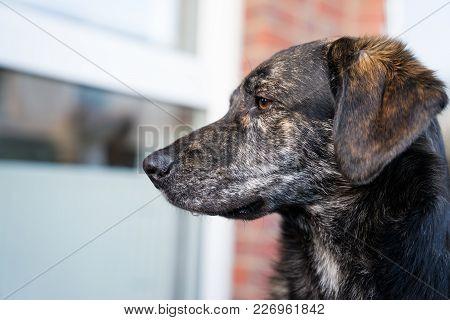 Silhouette Portrait Of Beautiful Young Australian Shepherd Mix Dog Puppy