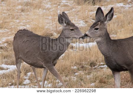 Two Deer Sharing A Friendly Moment In The Snowy Grass Of Yellowstone National Park.