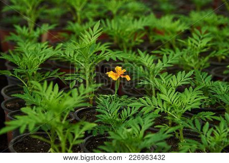 The Flower That Bloomed Before All. Growing Seedlings Of Tagetes In The Greenhouse