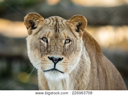 Lion, Lionesse Portrait. Female Lion, Panthera Leo, Lionesse Portrait, Looking In Camera With Soft B