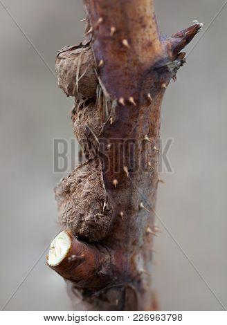Photo Raspberry Gall Midge, Disease Lasioptera Rubi, Close-up Outdoors