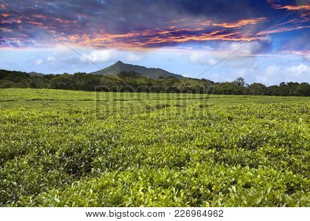 Bright Sunset Over Tea Fields On Mauritius