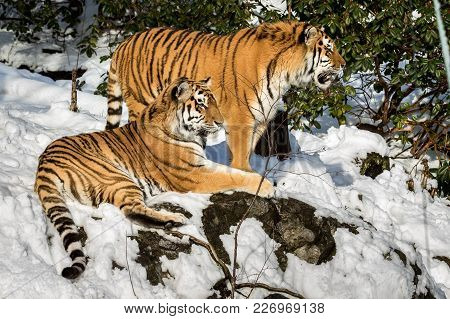 Siberian Tigers, Panthera Tigris Altaica, Resting In The Forest In Winter. Snow On The Ground, Green