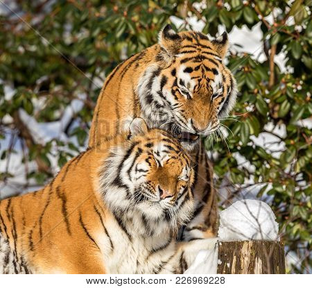 Two Siberian Tigers, Panthera Tigris Altaica, Male And Female Cuddling, Outdoors In The Snow.. Dyrep