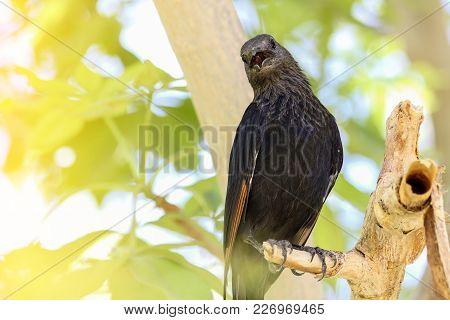 Tristram's Starling On A Tree Branch, Israel