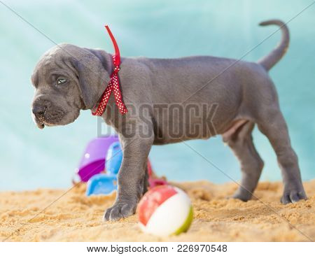 Great Dane Puppy That Apparently Does Not Think It Can Take The Beach Home