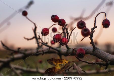 The Hawthorn Berries Of Late Autumn On The Background Of The Sunset