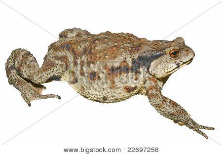 Toad (bufo Gargarizans)