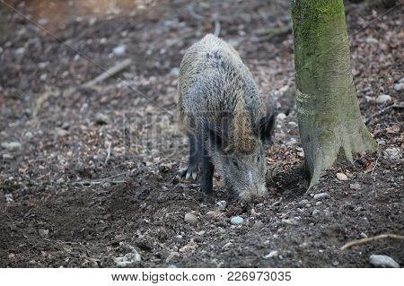 Wild Boar (sus Scrofa) In The Forest. Germany