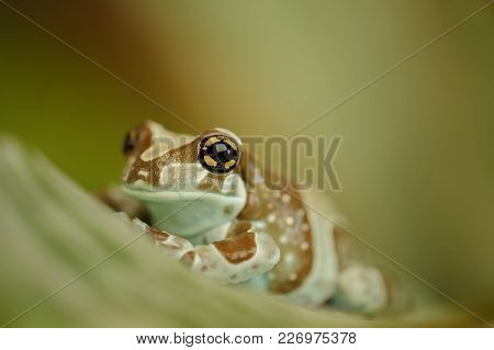 Amazon Milk Frog Sitting On Grean Leaf. Macro Photo Of Mission Golden-eyed Tree Frog