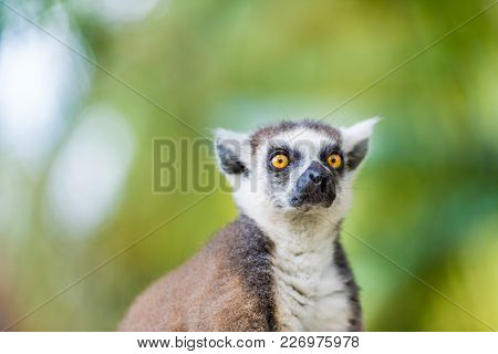Portrait Of Ring-tailed Lemur, Native To Madagascar, With Long, Black And White Ringed Tail.