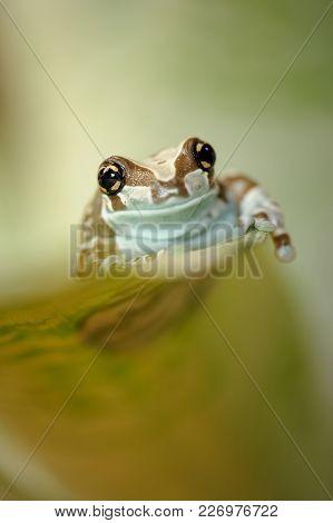 Amazon Milk Frog Crawl Up On Leaf. Brazil Nature. Amazonian Rainforrest Frog.