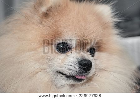 The Portrait Of A Beautiful Spitz Shows The Tongue. The Concept Of High Temperature In The Dog. The