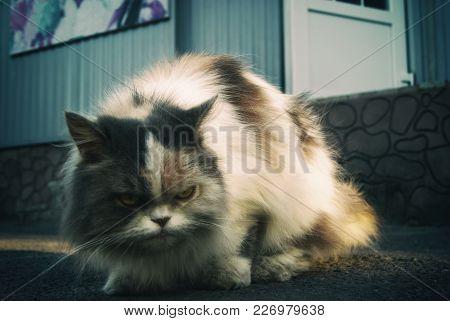 Large Gloomy Dissatisfied Street Cat On The Asphalt.