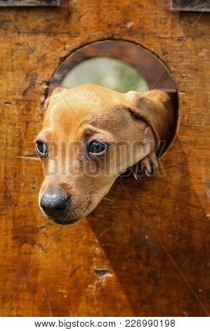 Cute Brown Puppy Poking Its Face Through A Hole