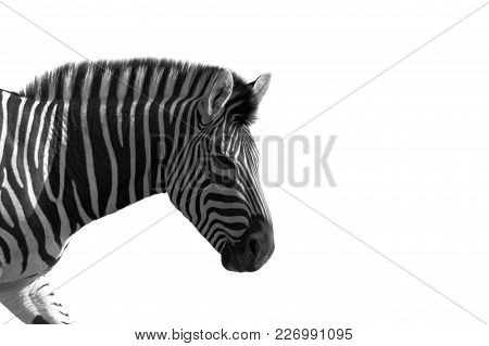 Zebra In Black And White Against A White Background.