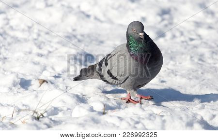Dove In The Snow On The Nature .