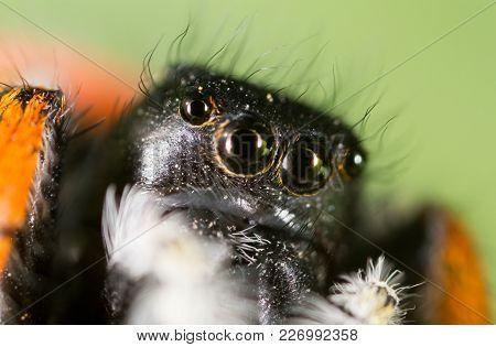 Portrait Of A Spider In Nature. Super Macro .