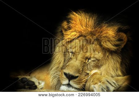 Detail Face Lion In Sleep With Black Shine.