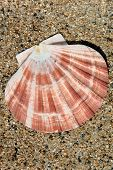 Bivalve Sea Shell on Sand in Sunshine poster