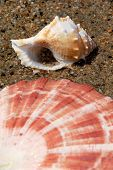 Lion's Paw and Nutmeg Seashell on Sand in Water poster