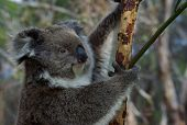 A koala sitting in a tree digesting gum leaves. Immediately identifiable with Australia, Australians and Australiana this cuddly animal is a favorite with tourists. poster