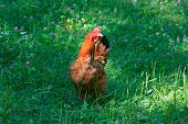 The big beautiful rooster on a green meadow poster