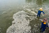 Garbage collector, environment worker take mass dead fishes out from West Lake, Hanoi, Vietnam in Oct 2016. The officer says total dead fish weight is about 200 tons poster