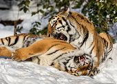 Two siberian tigers, Panthera tigris altaica, male and female cuddling, outdoors in the snow.. Dyreparken Zoo in Kristiansand, Norway. poster