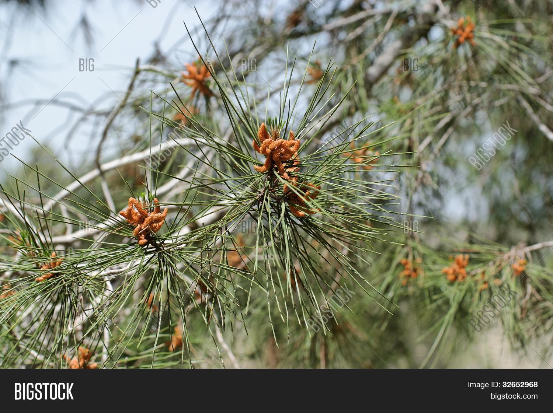 Male Pollen Cones ( Image & Photo (Free Trial) | Bigstock