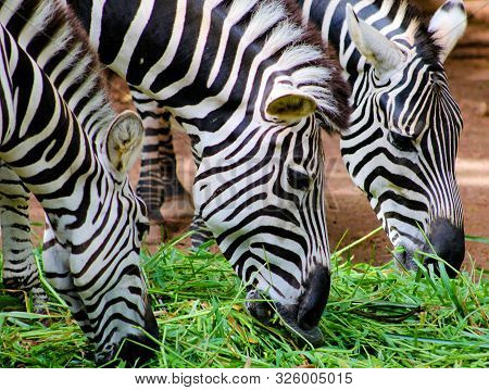 A herd dazzle of adult african Zebras eating grass at Srilankan Zoo poster