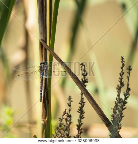 Beautiful Emperor Dragonfly Anax Imperator Insect On Reeds In Waterbed