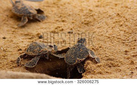 Baby Sea Turtle Hatching. One Day Old Sea Turtles In Hikkaduwa In The Turtle Farm.,sri Lanka . Logge